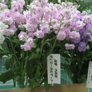 20160111shinomaki05