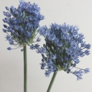 blue perfume