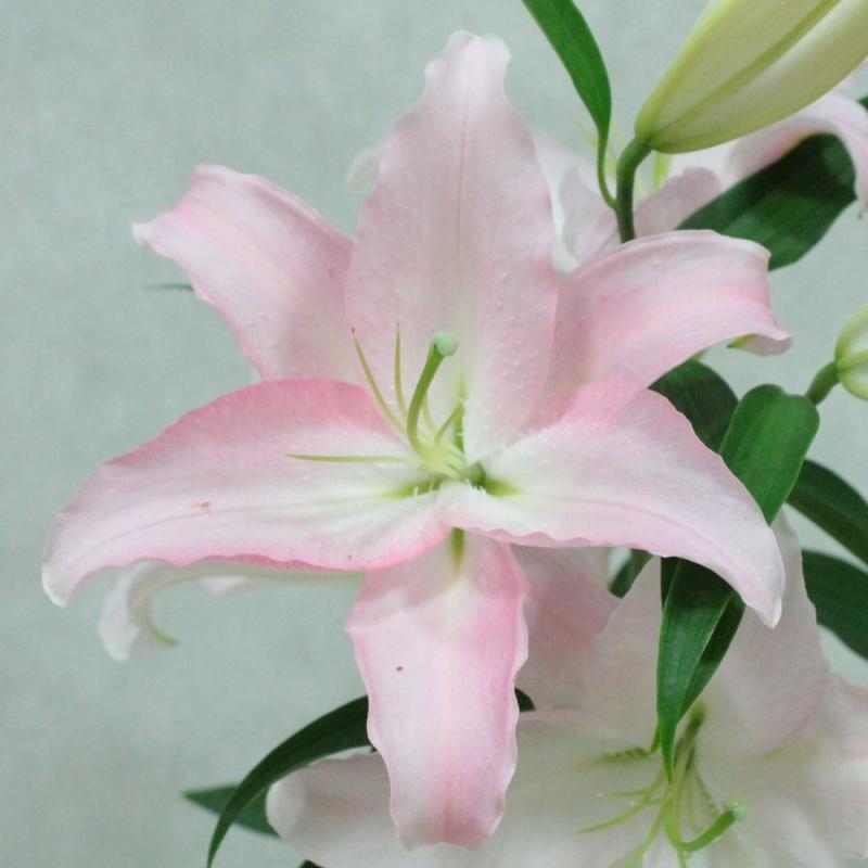 夏の花ユリ